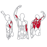 Muscles Targeted are the Lats, Deltoid, Trapezius, Forearm and Biceps Muscles