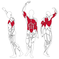 Muscles Targeted are the Chest, Deltoids, Shoulders, Triceps, Biceps, Abdominal and Lateral Muscles